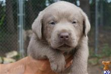 labrador retriever puppy posted by Rockin B Labs