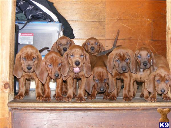 Redbone Coonhound Puppy For Sale Redbone Coonhound Puppies 4 Years Old