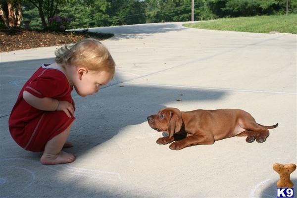 Redbone Coonhound Puppy For Sale Redbone Coonhound Puppies For Sale