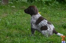 german shorthaired pointer puppy posted by Rocky1Sonny