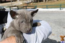 thai ridgeback dog puppy posted by Rocky1Sonny