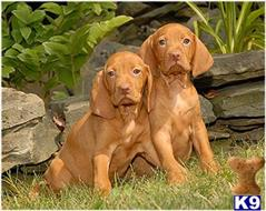 vizsla puppy posted by Rocky1Sonny