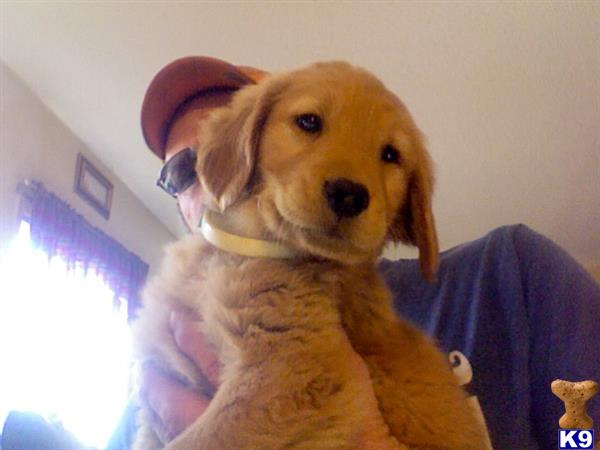 golden retriever puppy posted by Roger Bays