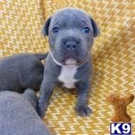 staffordshire bull terrier puppy posted by Roodieman