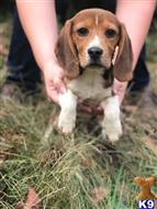beagle puppy posted by RosieRunKennel