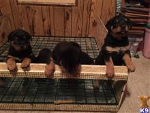 rottweiler puppy posted by Rott lady