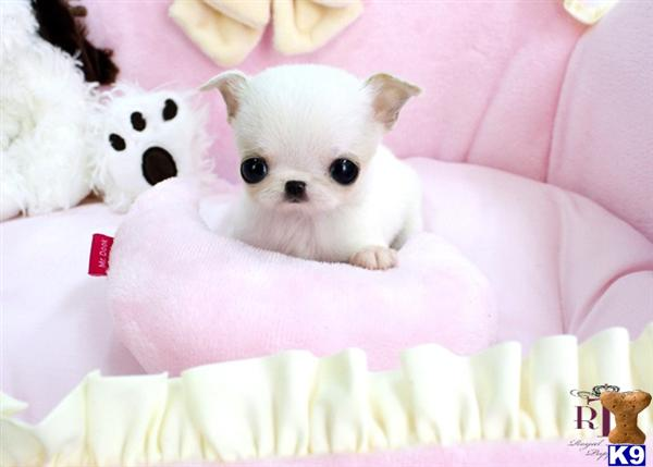 Chihuahua Puppy for Sale: Precious Micro Teacup Ice White Female