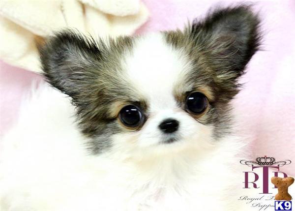 Chihuahua Puppy For Sale Precious Micro Teacup Long Coat Chihuahua