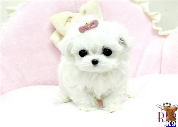 micro teacup maltese puppies for sale maltese puppy for sale precious micro teacup maltese 4459