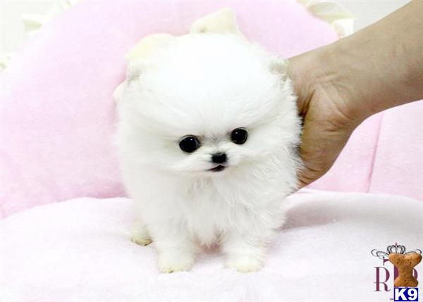 white pomeranian puppies price pomeranian puppy for sale micro precious ice white 3422