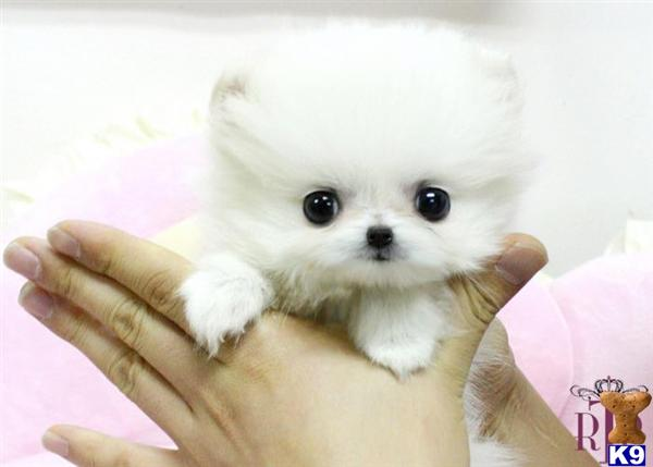 white pomeranian puppies price white teacup pomeranian price 8198