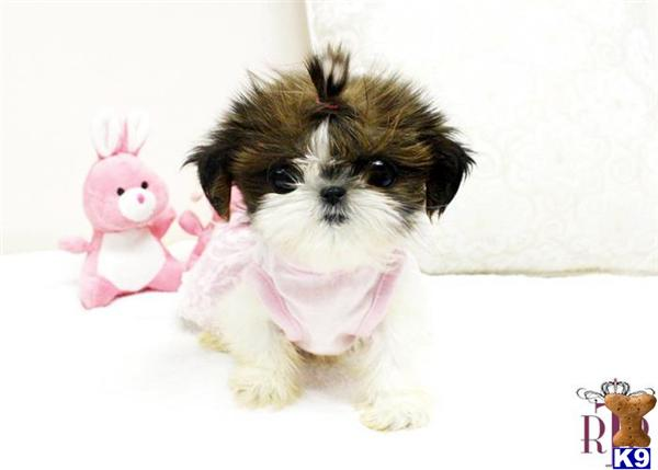 Shih Tzu Puppy For Sale Amazing Shih Tzu Teacup For Sale 7 Years Old