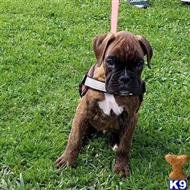 boxer puppy posted by Sanchezakcboxers
