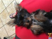 yorkshire terrier puppy posted by Sandracotto
