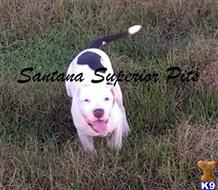 american pit bull puppy posted by Santanapits