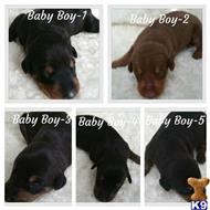 doberman pinscher puppy posted by Sarabi