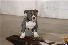 american bully puppy posted by ShawnU80