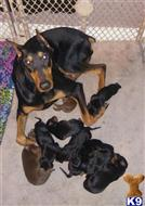 doberman pinscher puppy posted by Slickvic86