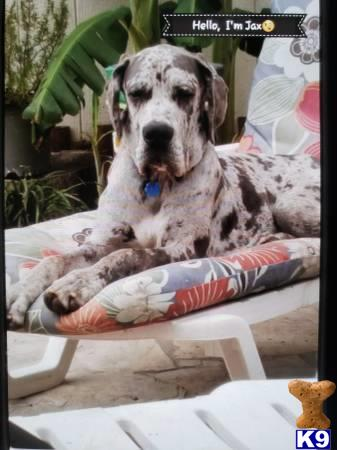Great Dane Stud Dog Jax Davinci 4 Years Old