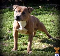 staffordshire bull terrier puppy posted by SouthFloridaShepherds