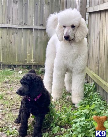 SovereignPoodles Picture 2