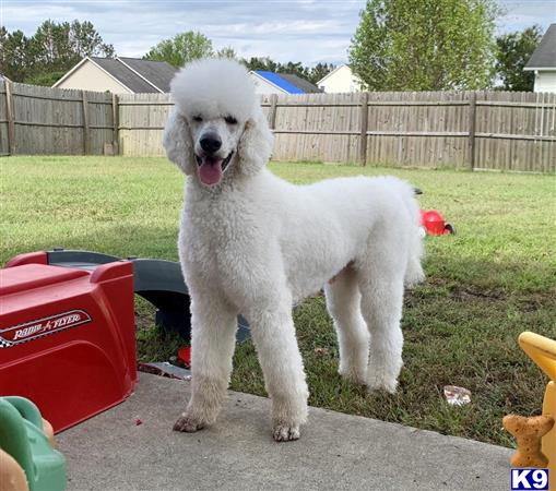 SovereignPoodles Picture 3