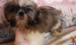 shih tzu puppy posted by SpoiledrottenKritters