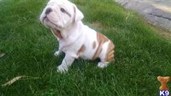english bulldog puppy posted by Ssaseae
