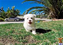 maltese puppy posted by Sulleygirl123