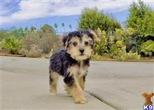 mixed breed puppy posted by Sulleygirl123