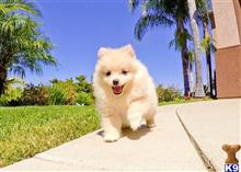 pomeranian puppy posted by Sulleygirl123