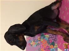 doberman pinscher puppy posted by Sunshinestatedobermans