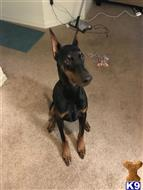 doberman pinscher puppy posted by Syd305aao