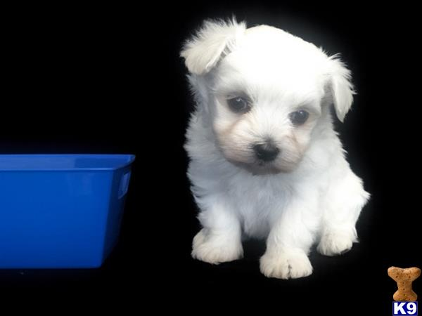 TINY PUPPIES Picture 1