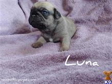 pug puppy posted by TLCPups2019