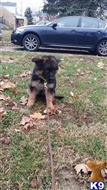 german shepherd puppy posted by TMApeiro