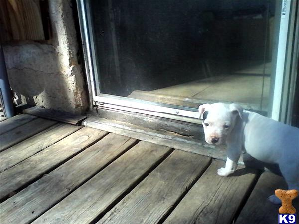 american pit bull puppy posted by TREYloc