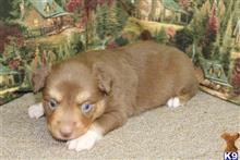 miniature australian shepherd puppy posted by TRMalloy