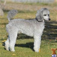 Poodle Stud Dogs In Washington