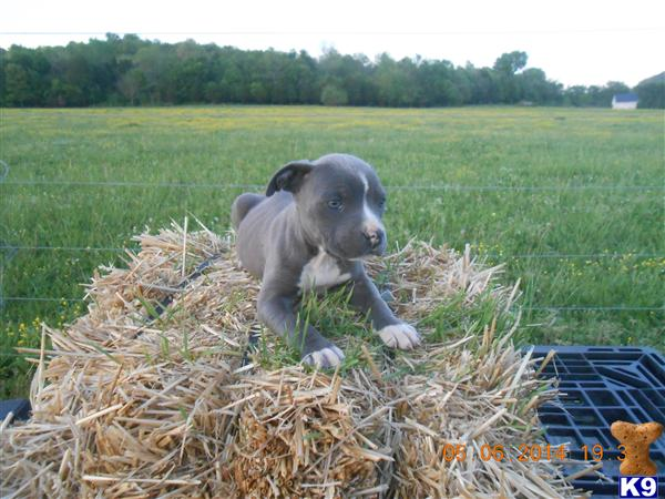 american pit bull puppy posted by Tammy1228