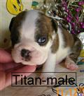 bulldog puppy posted by Tammysbullies