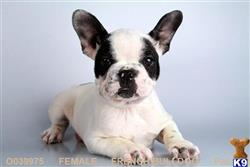 french bulldog puppy posted by TaniaSdpuppy