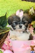 shih tzu puppy posted by TeacupPuppies
