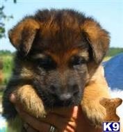 german shepherd puppy posted by Texas Big