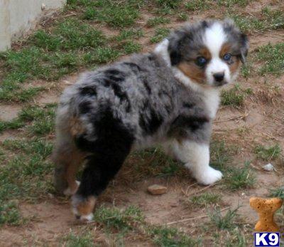Miniature Australian Shepherd Puppy For Sale Mini And Toy