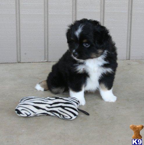 Miniature Australian Shepherd Puppy for Sale: MINI AND TOY