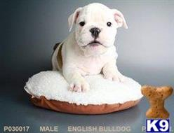 english bulldog puppy posted by Tfancypuppy