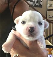 coton de tulear puppy posted by Tfox