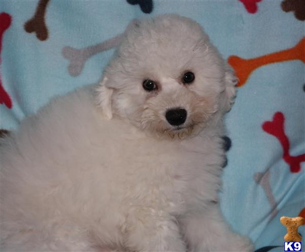 bichon frise puppy posted by Tiny Tots Texas