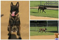 belgian malinois puppy posted by TopGunK9